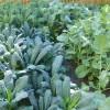 Brassica image