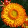 Strawflower image